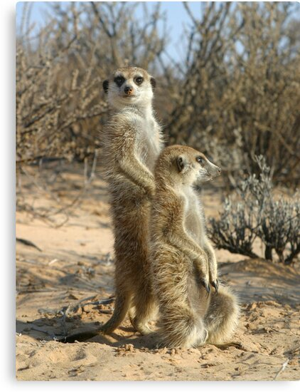 Kalahari meerkats by Anthony Brewer