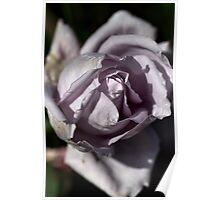 Mauve Rose Poster