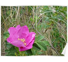 Pink Dune Flower, Spring Lake - New Jersey Nature Poster