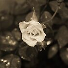 Lonely White Rose by Jillian Holmes