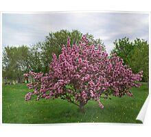 Full Apple Blooms Poster