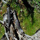 Hiding Lizard-Mariposa, Ca by Alan Brazzel