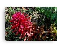 Indian Paintbrush-Mariposa, Ca Canvas Print