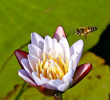 Water Lily and Wasp by AlainKhouri