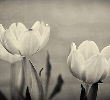 Tulips  by mici