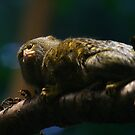 Pygmy Marmoset by James  Birkbeck Animals