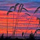 Pampas Grass in the morning by Julie Teague