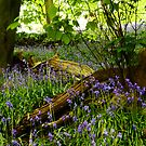 Bluebell Wood, Brock Bottoms, Lancashire by Anne Kingston