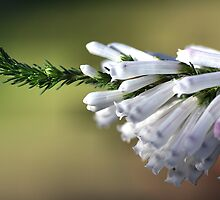 White Delight - Erica by Joy Watson