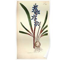 The Botanical magazine, or, Flower garden displayed by William Curtis V9 V10 1795 1796 0117 Scilla Amaena Byzantine Squill Poster