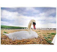 Nesting Mute Swan At Abbotsbury - Impressions Poster