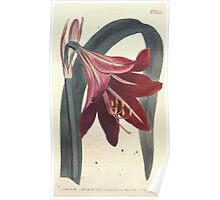 The Botanical magazine, or, Flower garden displayed by William Curtis V13 V14 1799 1800 0048 Amaryllis Reginae Mexican Lilly Poster
