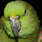Yellow-Naped Amazon Parrot by Alexander Butler
