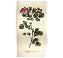The Botanical magazine, or, Flower garden displayed by William Curtis V9 V10 1795 1796 0104 Ononis Rotundiflora Round Leaved Rest Harrow Poster