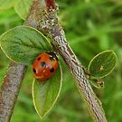 Ladybird 2 by sarnia2