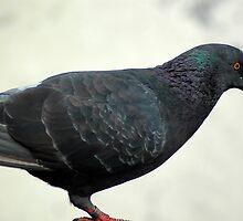 pigeon by bayu harsa