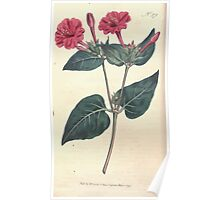 The Botanical magazine, or, Flower garden displayed by William Curtis V11 V12 1797 1798 0024 Mirabilis Jalapa Common Marvel of Peru Poster