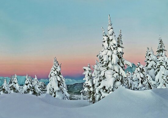 Snowy Christmas trees by Istvan Hernadi