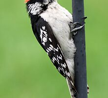 Downy Woodpecker by Erik Anderson