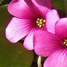 Pink Ladies by sarnia2