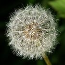 A dandelion clock ready to release it&#x27;s seeds. by William Brennan