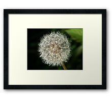 A dandelion clock ready to release it's seeds. Framed Print