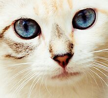 Kitty Blue Eyes by juliegrath