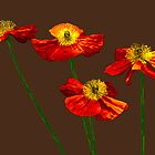 Poppies Poppies Poppies by GardenJoy