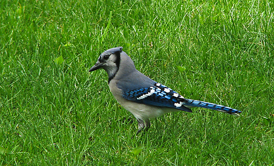 Blue Jay by swaby
