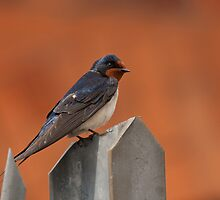 Barn Swallow by Jon Lees