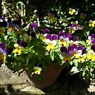 Pretty pot of Violas by joycee