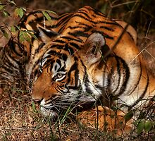 Wild Bengal Tiger by Dave  Knowles