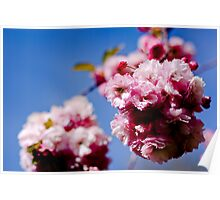 English Cherry Blossoms Poster
