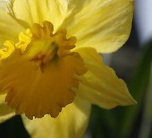 Daffodil by MarkieR