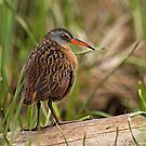 Virginia Rail by Bill McMullen