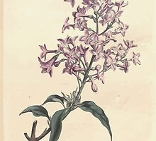 The Botanical magazine, or, Flower garden displayed by William Curtis V13 V14 1799 1800 0127 Syringa Persica Persian Lilac by wetdryvac