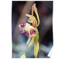 Fringed Hair Orchid Poster