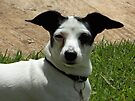 Hi! I'm Jacko, a Fox Terrier/Chihuahua cross by Maree  Clarkson
