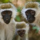 Vervet Monkeys by Sue Earnshaw