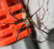 Sheet Web Spider by bridgenie