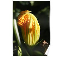 Courgette Flower Poster