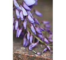 Wisteria Photographic Print