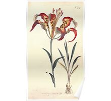 The Botanical magazine, or, Flower garden displayed by William Curtis V7 V8 1794 0093 Lilium Catesbaei, Catesby's Lilly Poster