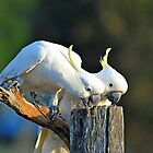 Sulphur Crested Cockatoos. Brisbane, Queensland, Australia. by Ralph de Zilva