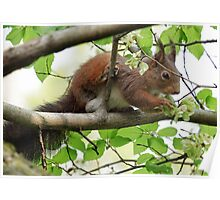 Squirell Eating flowers on a tree Poster