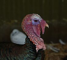 Don't call me ugly ya Turkey!! by R-Summers