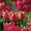 Tulips by David Freeman