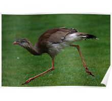 Red-legged Seriema or Crested Cariama Poster