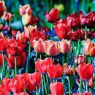 Tulips In a Field by David Freeman
