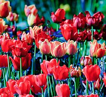 Tulips In a Field by David Freeman